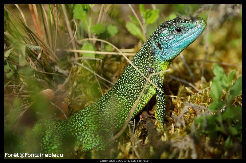 Les reptiles de la forêt de Fontainebleau. Les serpents, les lézards qui peuplent le massif forestier. La nature sauvage dans tous ses états.