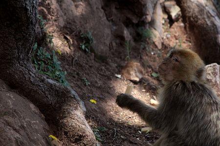 Le singe  magot, seul macaque d'Afrique, que l'on ne trouve que dans quelques rares  régions du monde, est en train de dépérir à petit feu...Pourquoi? Et bien tout simplement à force de cotôyer l'homme et d'avoir adopté son régime alimentaire