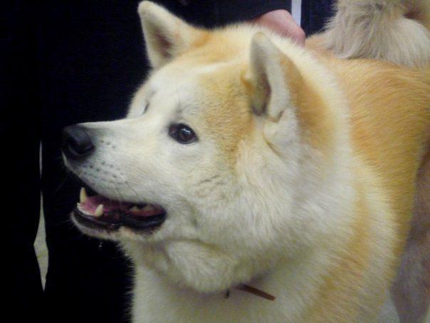 Photos d' AKITA INU ce magnifique chien Japonais