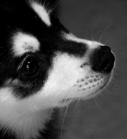 Alaskan Klee Kai ou husky miniature