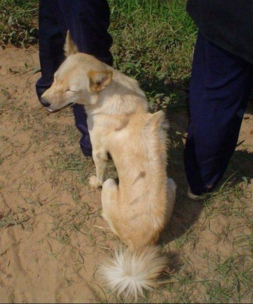 CAMBODIAN-RAZORBACK-DOG Chien à crête cambodgien rare