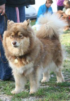 Photos suomenlapinkoira lapinkoira chien finnois de laponie