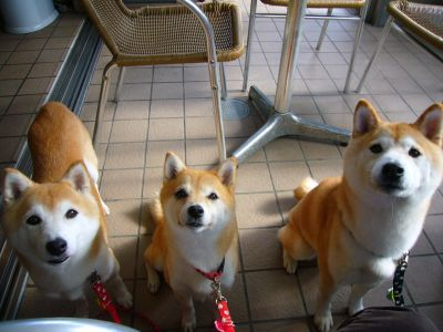 SHIBA INU AKITA INU BOUTIQUES PET FOOD CROQUETTES SPECIALISE CHIEN JAPoNAIS COUTUMES TRADITIONS JAPON