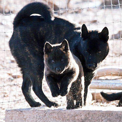 chiens japonais 2014 retrouvez + d'infos sur mon nouveau site, http://shiba.fr