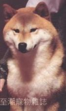 DIFFERENCES-DE-TYPES-DE-CHIENS JAPONAIS SHIBA TYPE LOUP TYPE OURS TYPE LION TYPE US TYPE AMERICAIN TYPE NIPPO