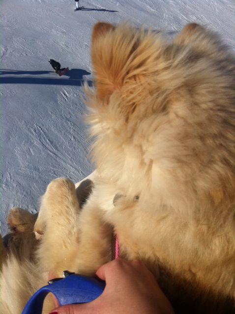 Ma petite chienne finnois de laponie / Lapinkoira crème, Chien finnois de laponie, son évolution et photos de toute la portée