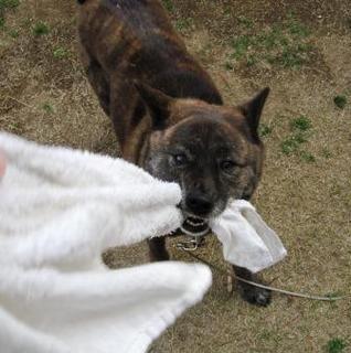 Photos de KAI KEN chien japonais noir bringé