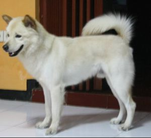 Kintamani dog anjing bali dog balinese dog white chien blanc indonesie rare