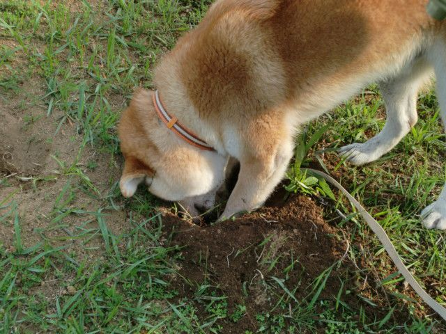 KISHU KEN, KISHU INU JAPANESE DOG CHIEN JAPONAIS RARE