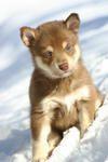 LAPINPOROKOIRA ou BERGER FINNOIS DE LAPONIE - ses différentes robes / couleurs - race de chien rare