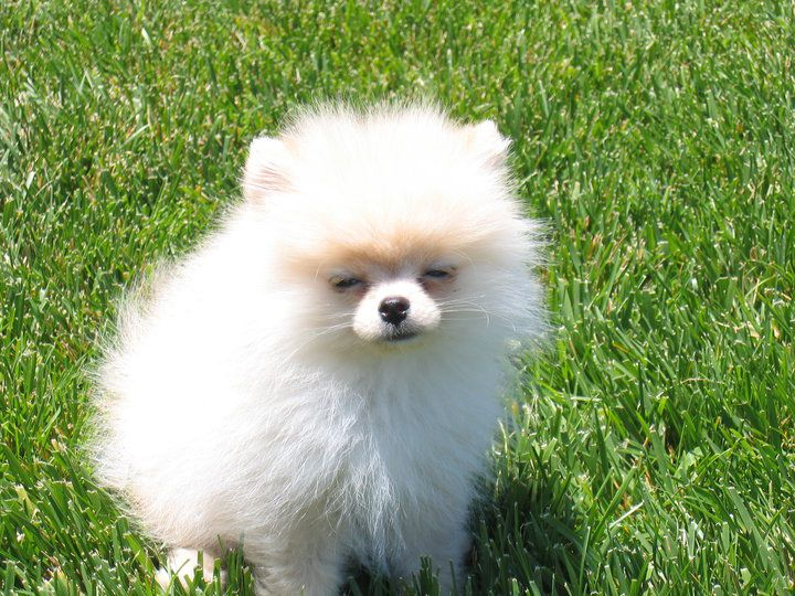 BOO POMERANIAN LOULOU DE POMERANIE POM RACE CHIEN DOG BREED