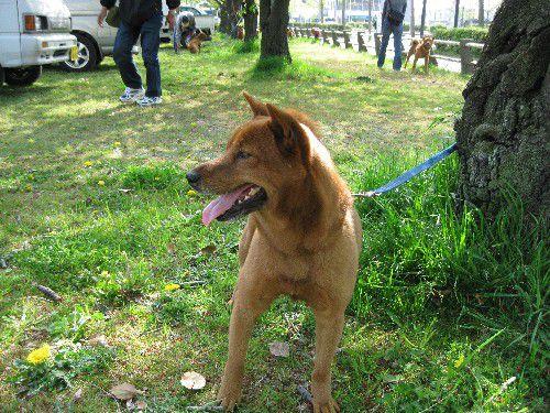 Mino shiba / Minoshiba mino shiba inu rare breed rare japanese dog
