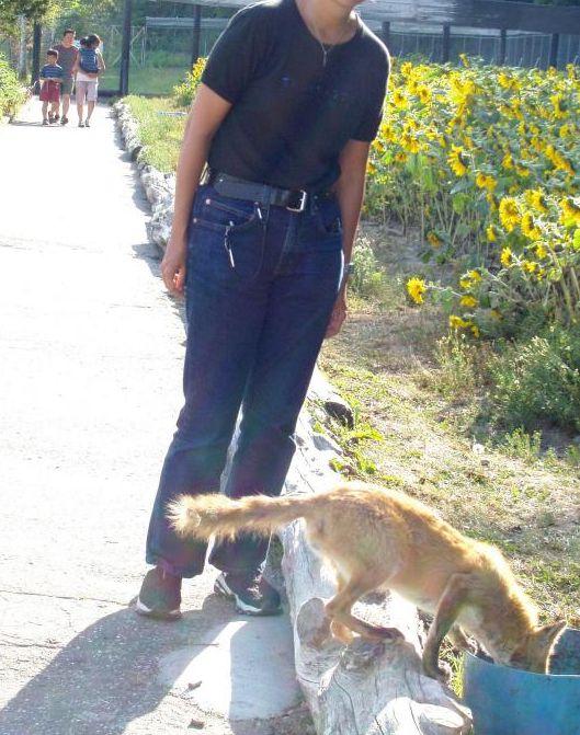 Renard Japonais comprenant 2 espèces : Renard d'Hokkaido ( Vulpes vulpes schrencki ) et Renard Roux Japonais ( Vulpes vulpes japonica )