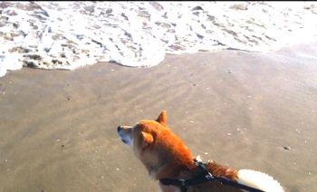 Lapinkoira suomenlapinkoira shiba inu chiens rares