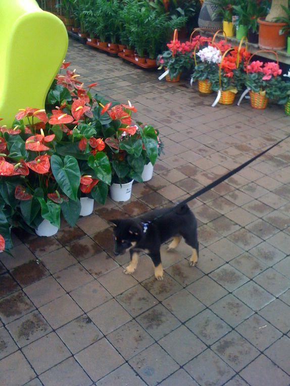 SOCIABILISATION-DU-CHIOT dont chien primitif chien nordique chien japonais shiba inu akita inu spitz japonais shikoku kishu kaï ken...