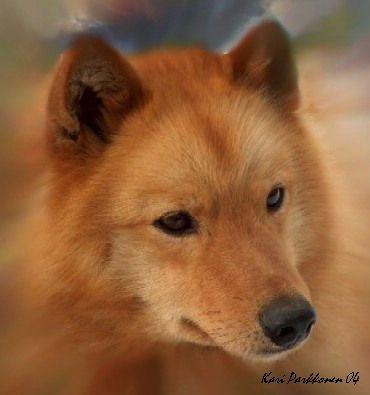 Photos de Spitz Finlandais race rare