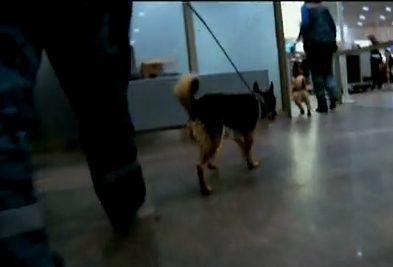 Sulimov dog, chien de Sulimov