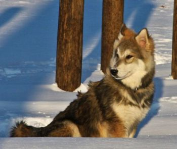 Album - TAMASKAN-WOLF-DOG