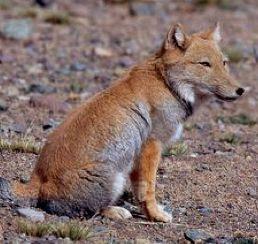 TIBETAN-FOX-RENARD-DU-TIBET RENARD DES SABLES