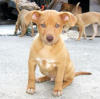 yakushima ken inu yaku ken chien japonais très rare japanese dog rare 屋久島犬