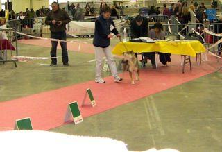 exposition canine 2010 chiens nordiques spitz primitifs spitz japonais shiba inu akita inu shikoku husky chocolat malamute samoyède ...