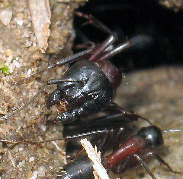Album photos de la fourmi Camponotus ligniperdus