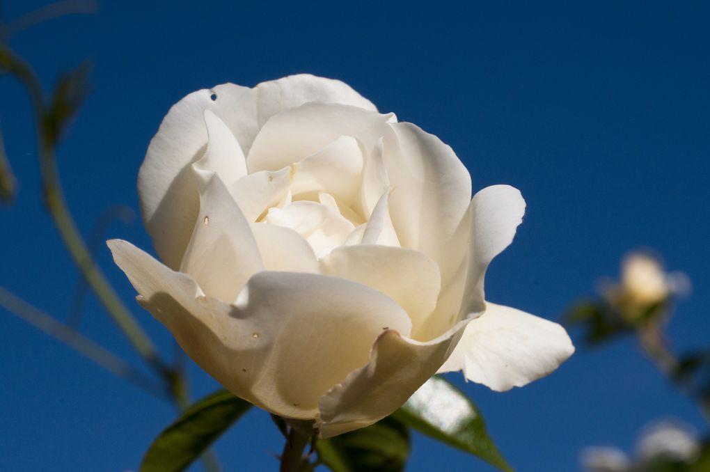 Les roses du jardin de La Quinta sont pour la plupart des roses anciennes merci à Eléonore Cruse ! David Austin, Delbard, Meilland et Guyot sont aussi présents.
