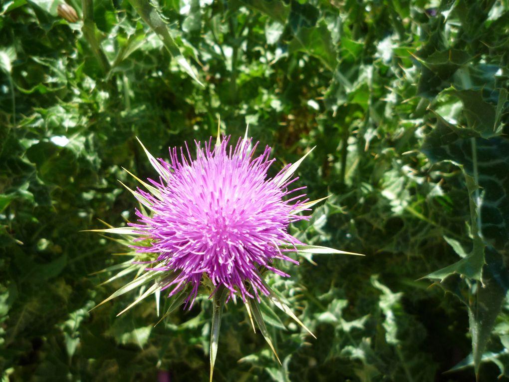 Un échantillon des fleurs de l'Aude ou d'ailleurs rencontrées au cours de mes randonnées