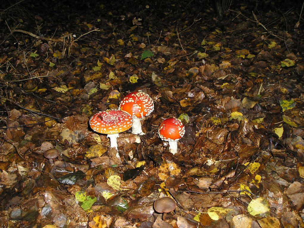 """Cueillette en sous bois de reboisement, bouleaux et hêtres,  24 septembre 2010 à Meurcourt (70)Sur l'une des photos, on voit bien des moustiques """"téter"""" l'amanite."""