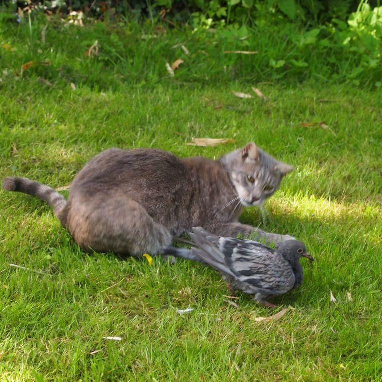 Un jeune chat joue sadiquement avec un pigeonneau tombé du nid