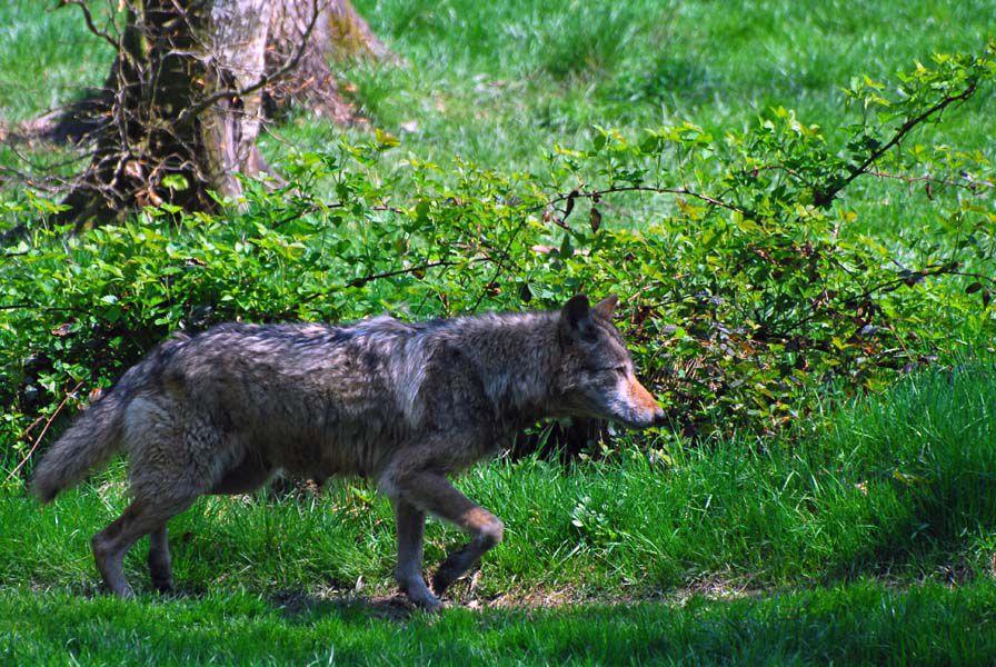 Le loup, et ses proies