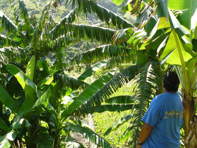 Jardin potager Tahitien, pour l'approvisionnement de deux magasins.