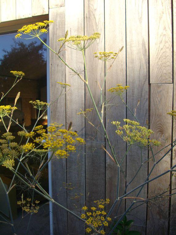 vivaces du jardin de l'année 2010 et 2011
