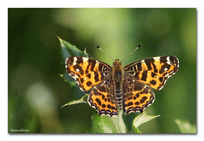 Album - papillons et chenilles