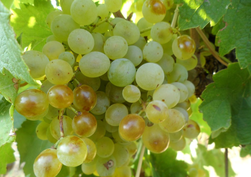 Album photos Vendanges 2012