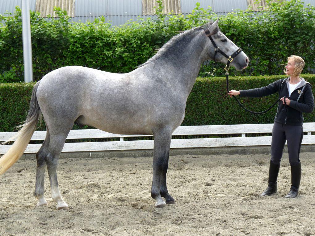 Nos chevaux : Whistle et Shaggy Quarter Horses et Baelo II Pure Race Espagnole