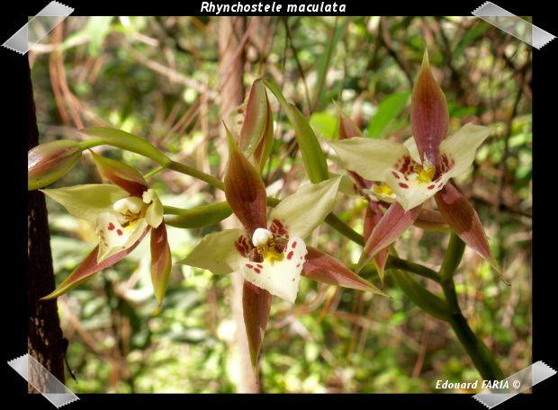 Orchidées indigènes de la région de Temascaltepec dans l'état de México au Mexique.