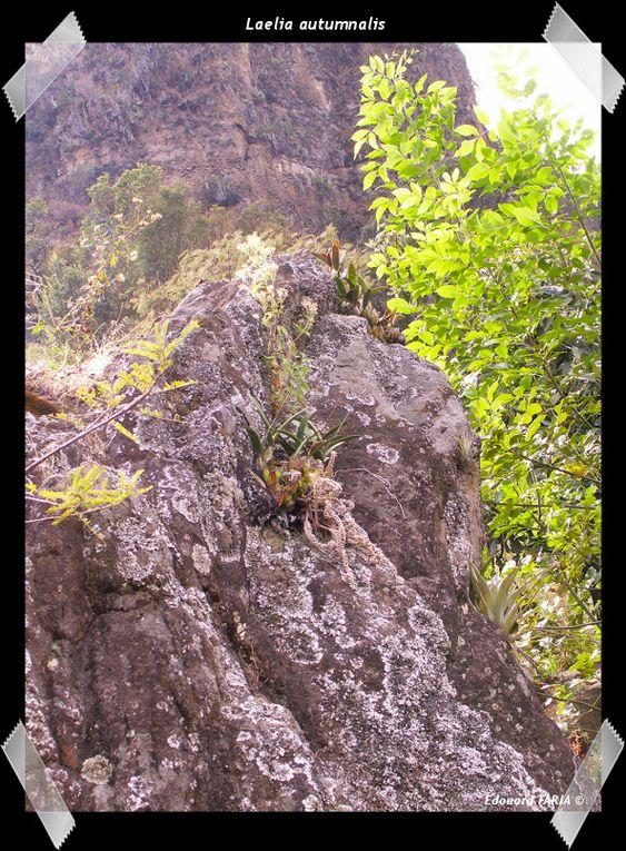 Orchidées indigènes de la station de Ocuilan-Chalma, Etat de México, Mexique.