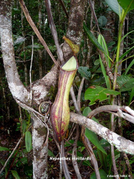 Photos in-situ de Nepenthes vieillardii et Drosera neocaledonica.