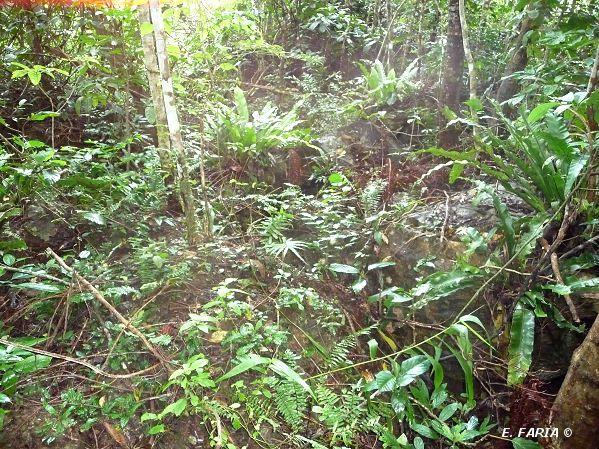 Orchidées, Forêts et autres curiosités du sud de Luzon et du nord de l'île de Mindoro aux Philippines.