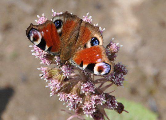 Album - Decouvrir les Papillons de chez Nous