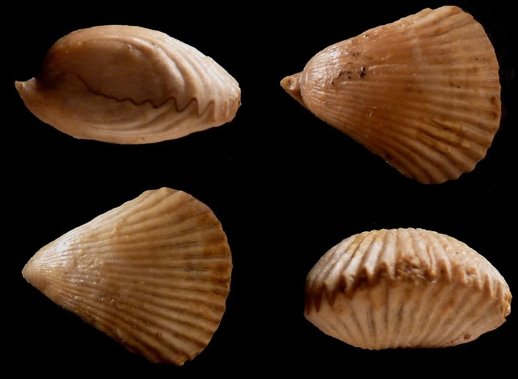 album contenant des Brachiopodes .1 aalenien, 2 Bathonien, 3 Callovien