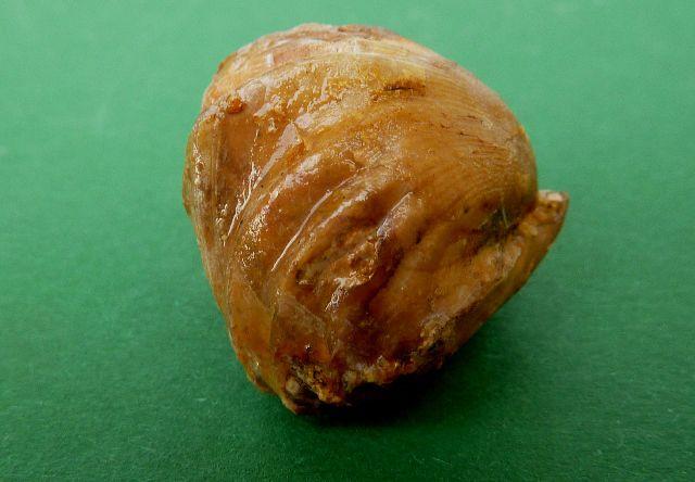 Zeilleria quadrifida