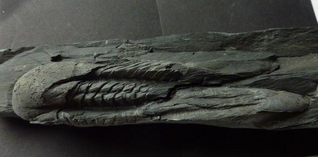 Salterolitus caractaci