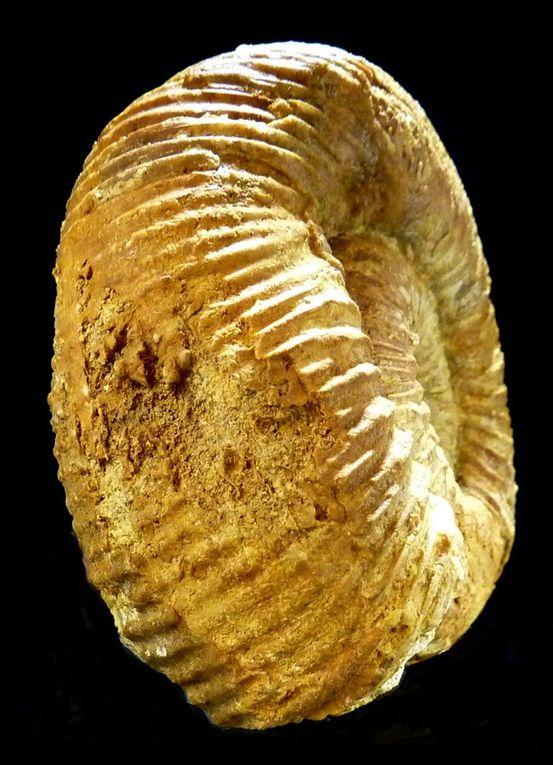 Fossiles ayant des pathologies divers ou des malformations .