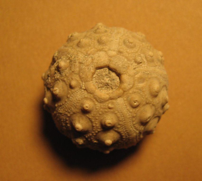 Cidaropsis minor