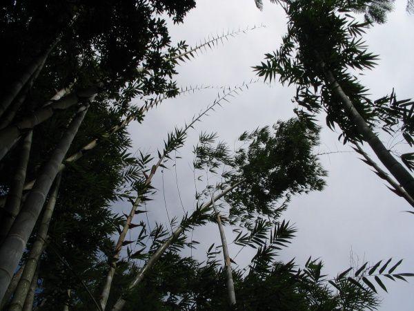 Album - Bambous
