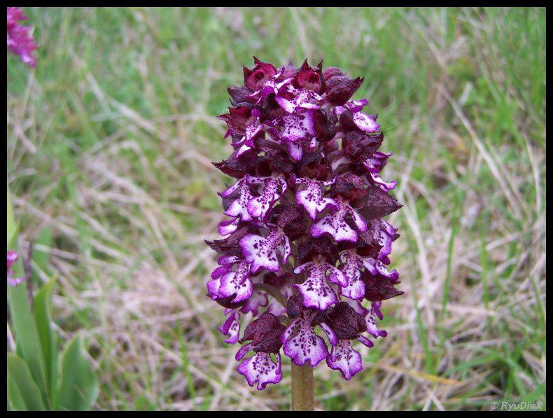 Orchis-purpurea