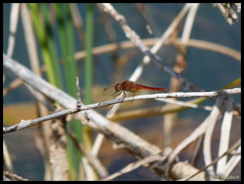 Lac des Boues rouges de Segoussac-mai 2011