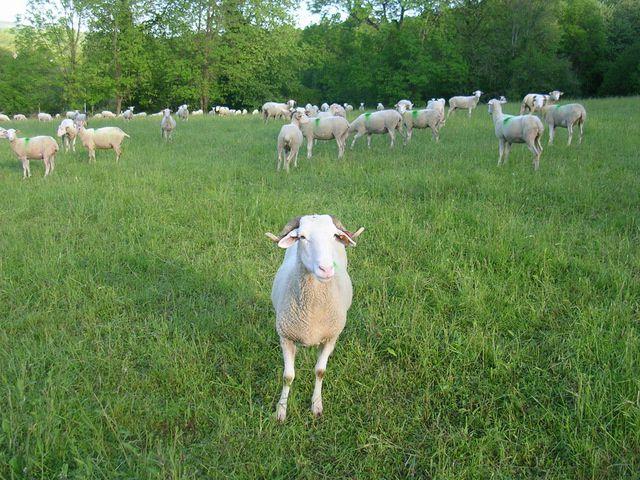 Les vaches et les brebis pacagent dans les prés de l'exploitation avant la montée en estives